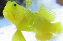 13_yellow_watchman_goby