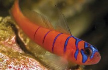 14_blue_banded_goby