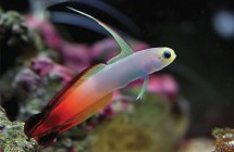 15_fire_goby