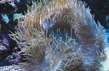 25_long_tentacle_anemone