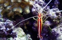 34_skunk_cleaner_shrimp