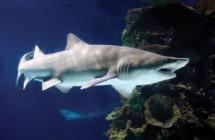 37_Sand_iger_Shark