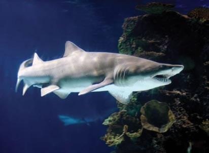 sand devil shark  Black Tip Reef Shark