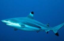 38_black_tip_reef_shark