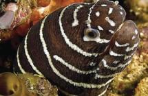 45_zebra_moray