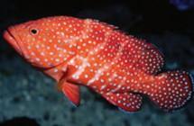 49_Miniatus_grouper