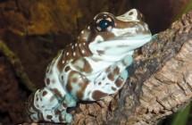 amazon_milk_frog2