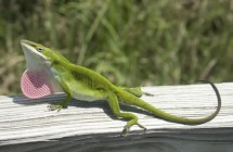 green_anole2
