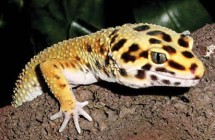leopard_gecko