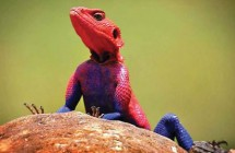 red_head_agama